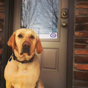 dog, alarm, alarm system, pets, pet, protect, safety, door, yellow lab, puppy, house, alarm system, security system, smoke detector, door lock
