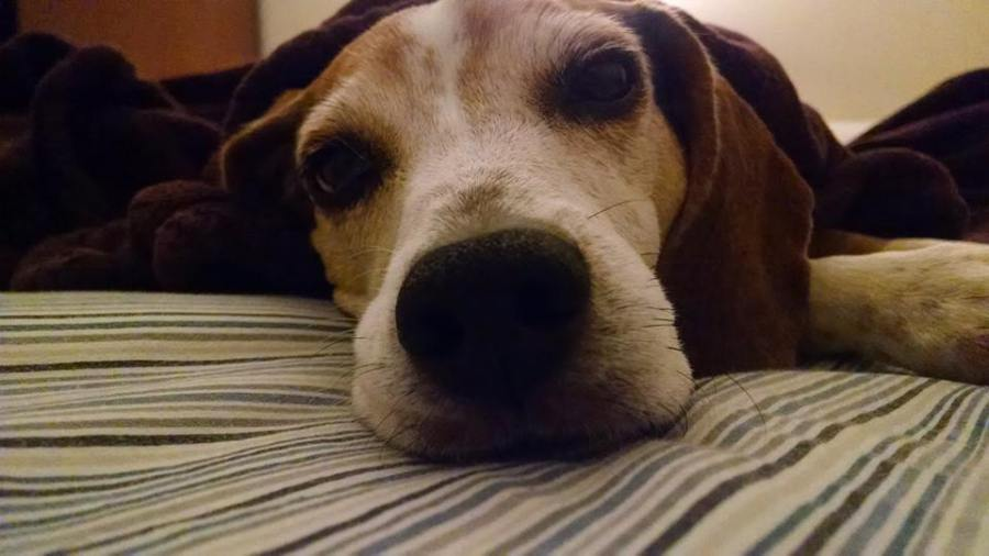 Closeup of a sleepy Beagle